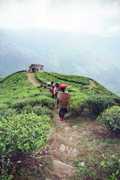 Les jardins de thé escarpés du Darjeeling