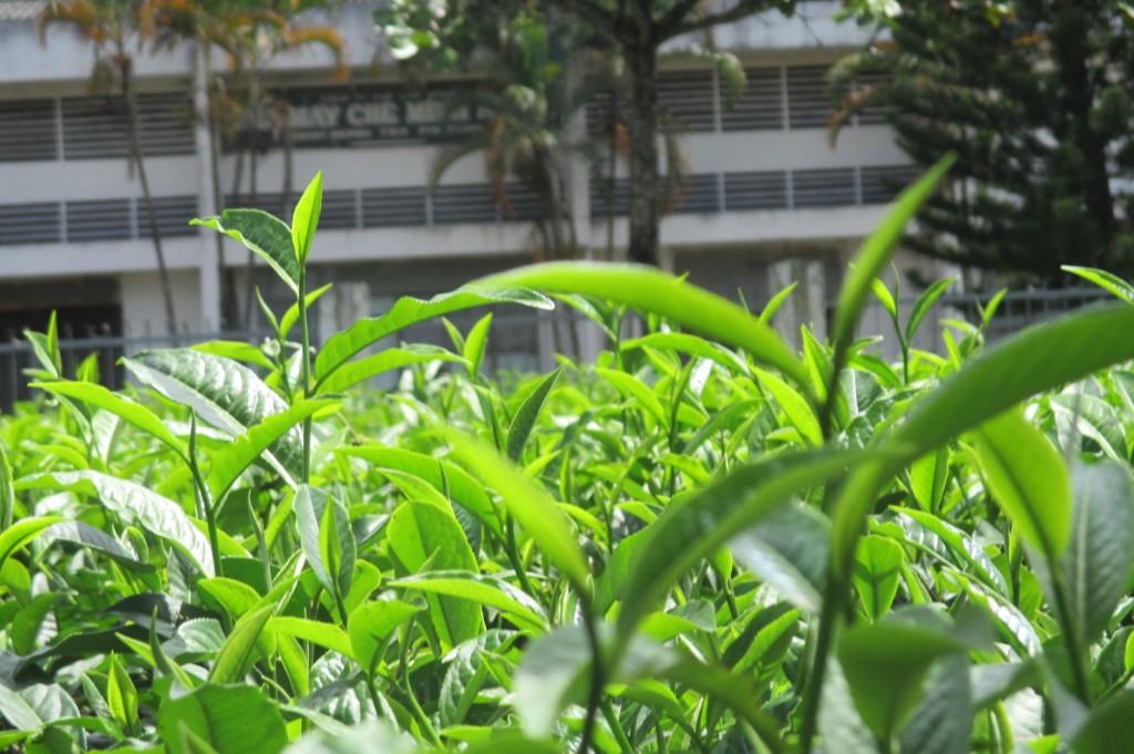 plants de thé (8)