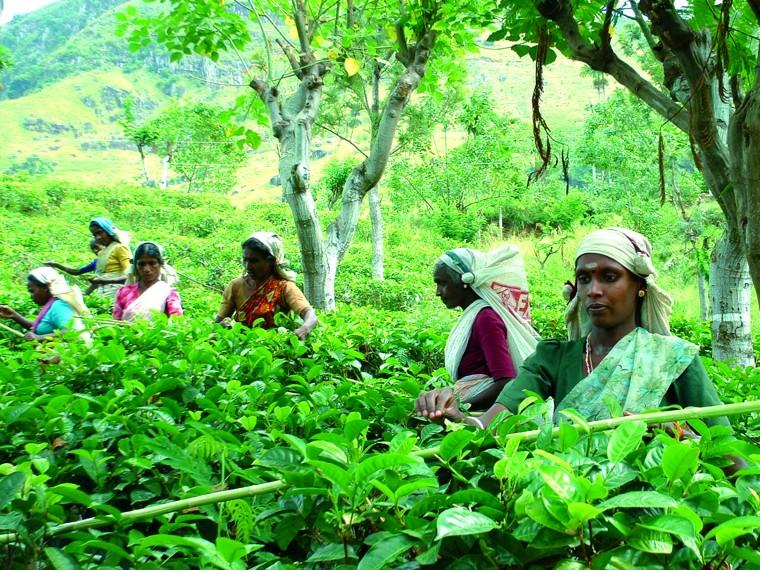 Les cueilleuses de thé d'une plantation sélectionnée par La Route des Comptoirs