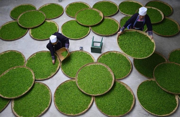 pc-140328-china-green-tea-02_485485a3c4d6bf01ee50ba3d998f4f8c-nbcnews-ux-2880-1000
