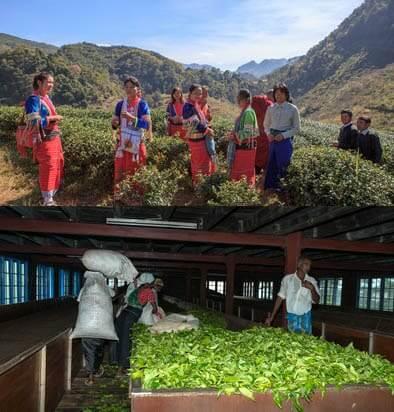 La certification bio du thé ThésMao