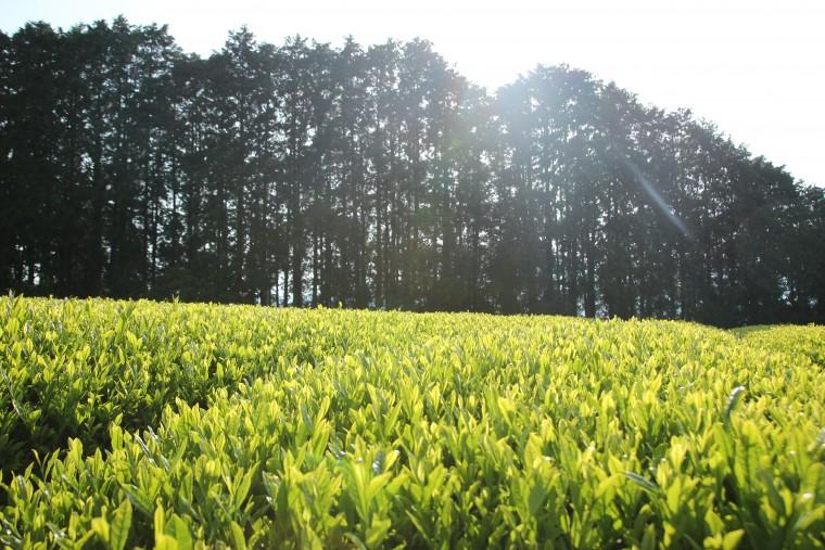 japon_plantations